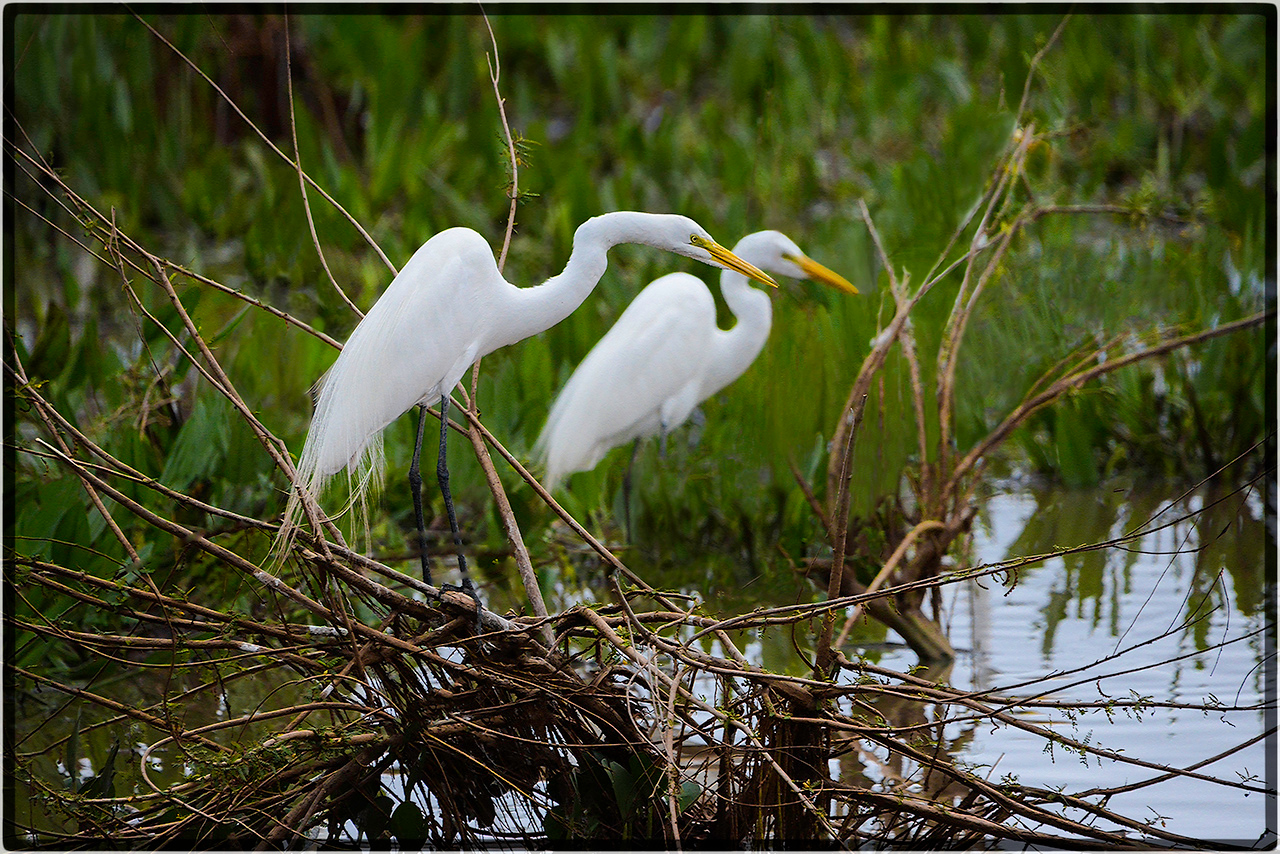 Garca-Branca or Great Egrets