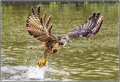 Gaviao-Cabocio or Savanna Hawk