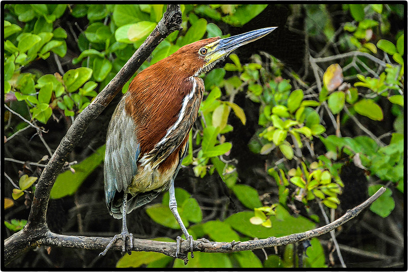Soco-Boi or Tiger Heron