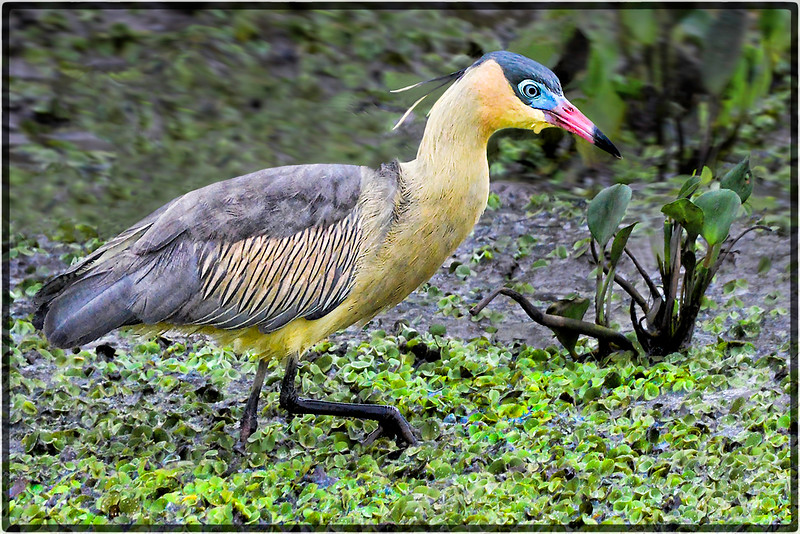 Maria-Faceira or The Whistling Heron
