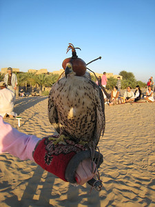 One of the falcons up close.  The trainers put the hoods on the falcons to keep them calm, a bit like covering chooks with a towel, only classier.