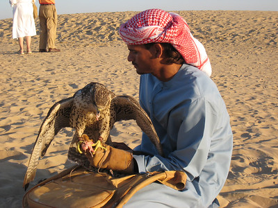 Snack time for the falcon.  That's one very sharp beak!