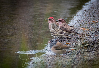 Male, female, and young Cassin's Finch. Junco in foreground.