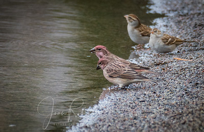"""Cassin's Finches. My first encounter. """"Lifers!"""""""