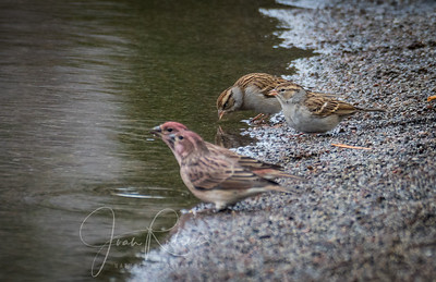 Cassin's Finches in foreground--juvie White-crowned Sparrows behind--at least that's my best guess.
