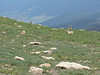 Bighorn sheep at the top of the ridge (7.17.10)