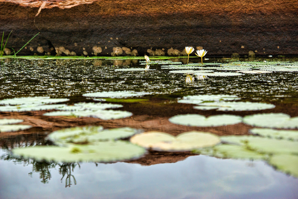 Lotuses rise from one of the many rain water harvesting ponds built in the Chalukya era