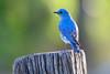 MountainBluebird(male)-2015-001