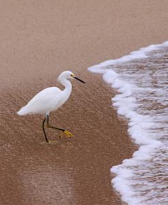 Snowy Egret in the Surf - Playa Mismaloya, Mexico