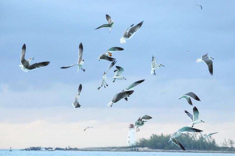 Seagulls battle over a nugget of food, Nassau, Bahamas - February 2011