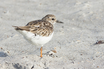 Single-leg Least Sandpiper