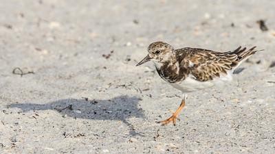 Single-leg Least Sandpiper hopping