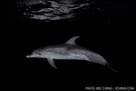 An Atlantic spotted dolphin in the Gulf Stream at night