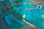 Parrotfish abstract