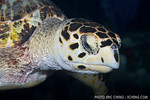A friendly hawksbill turtle