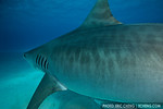 Emma the tiger shark, pregnant