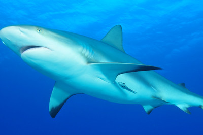 © Joseph Dougherty. All rights reserved.   Carcharhinus perezii  (Poey, 1876) Caribbean Reef Shark