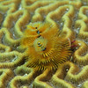 © Joseph Dougherty. All rights reserved.  <font size=5><i>Spirobranchus giganteus </i></font> (Pallas, 1766) <font size=5>Christmas tree worm</font>