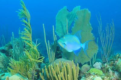 © Joseph Dougherty. All rights reserved.  Balistes vetula  Linnaeus, 1758 Queen Triggerfish