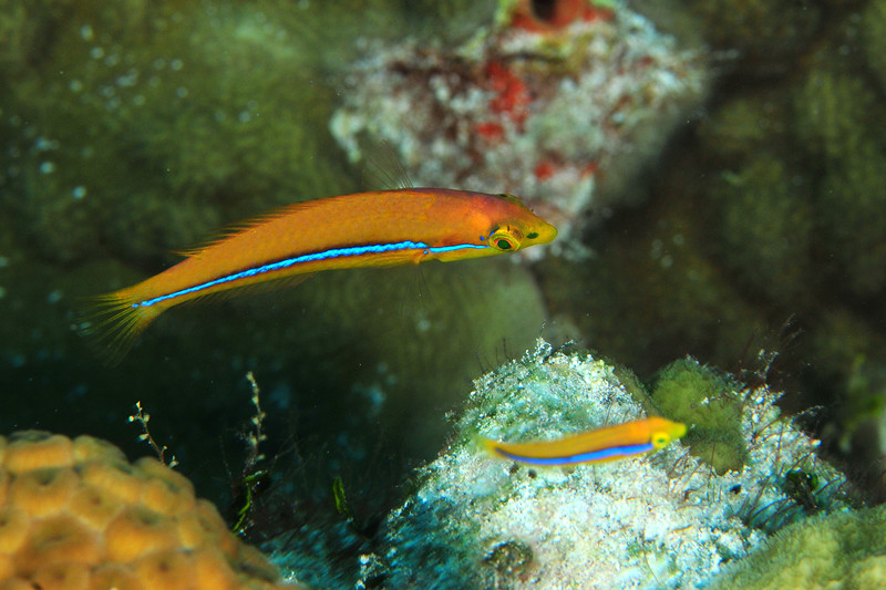 © Joseph Dougherty. All rights reserved.  Halichoeres garnoti   (Valenciennes, 1839)   (juvenile)  Yellowheaded Wrasse