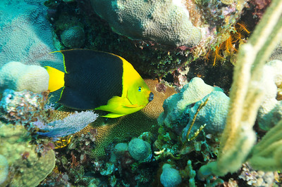 © Joseph Dougherty. All rights reserved.  Holacanthus tricolor (Bloch, 1795) Rock Beauty Angelfish  The Rock Beauty Angelfish inhabit reefs encompassing the tropical western Atlantic Ocean down to the northern portion of the Gulf of Mexico at depths of between 3-92 meters.