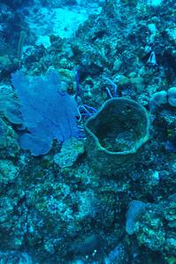 © Joseph Dougherty. All rights reserved.  Verongula gigantea    Netted Barrel Sponge