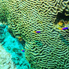 © Joseph Dougherty. All rights reserved.  Several Royal Grammas floating above a large brain coral.