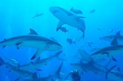 """© Joseph Dougherty. All rights reserved.   Carcharhinus perezii  (Poey, 1876) Caribbean Reef Shark  Multiple sharks circling during a feeding.   Measuring up to 3 m (10 ft) long, the Caribbean reef shark is one of the largest apex predators in the reef ecosystem, feeding on a variety of fishes and cephalopods. They have been documented resting motionless on the sea bottom or inside caves, unusual behavior for an active-swimming shark. If threatened, it may perform a threat display in which it frequently changes direction and dips its pectoral fins. Like other requiem sharks, it is viviparous with females giving birth to 4–6 young every other year. Caribbean reef sharks are of some importance to fisheries as a source of meat, leather, liver oil, and fishmeal, but recently they have become more valuable as an ecotourist attraction. In the Bahamas and elsewhere, bait is used to attract them to groups of divers in controversial """"shark feedings."""" This species is responsible for a small number of attacks on humans."""
