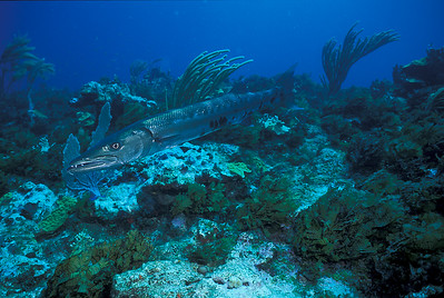 © Joseph Dougherty. All rights reserved.   Sphyraena barracuda (Edwards in Catesby, 1771) Great Barracuda