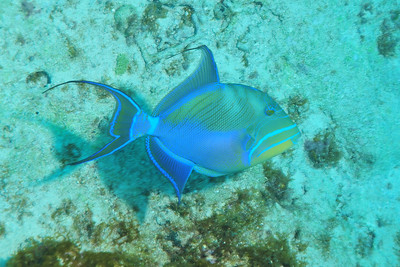 © Joseph Dougherty. All rights reserved.  Balistes vetula  Linnaeus, 1758 Queen Triggerfish  The queen triggerfish reaches 60 cm (24 in), though most are only about half that length. It is typically blue, purple, turquoise and green with a yellowish throat as see in the image above, with light blue lines highlighting the fins and head. It can change color somewhat to match its surroundings, or if subjected to stress.