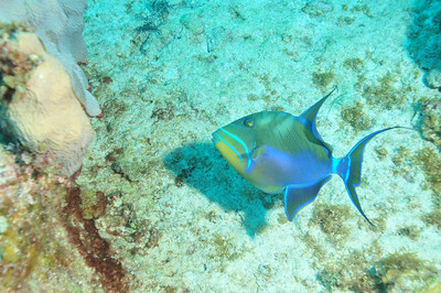 © Joseph Dougherty. All rights reserved.  Balistes vetula  Linnaeus, 1758 Queen Triggerfish  The same fish as seen in the previous image, but this time with the strobes providing additional light.