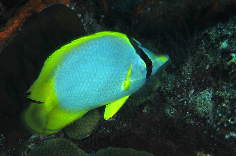 © Joseph Dougherty. All rights reserved.  Chaetodon ocellatus  Bloch, 1787   Spotfin Butterflyfish