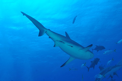 © Joseph Dougherty. All rights reserved.   Carcharhinus perezii  (Poey, 1876) Caribbean Reef Shark  Synonyms: - Eulamia springeri Bigelow & Schroeder, 1944 - Platypodon perezii Poey, 1876