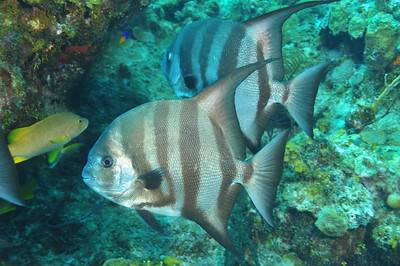© Joseph Dougherty. All rights reserved.  Chaetodipterus faber  (Broussonet, 1782) Atlantic Spadefish  The Atlantic spadefish is known by numerous colloquial names, including angelfish, white angelfish, threetailed porgy, ocean cobbler, and moonfish.  The Atlantic spadefish belongs to the genus Chaetodipterus, which includes two other species: the West African spadefish (Chaetodipterus lippei) and the Pacific spadefish (Chaetodipterus zonatus). The Chaetodipterus genus belongs to the Ephippidae family, which includes spadefish and batfish.