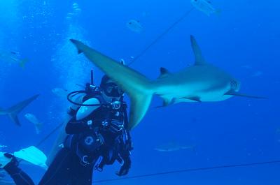 © Joseph Dougherty. All rights reserved.   Carcharhinus perezii  (Poey, 1876) Caribbean Reef Shark