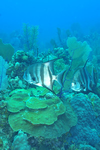 © Joseph Dougherty. All rights reserved.  Chaetodipterus faber  (Broussonet, 1782) Atlantic Spadefish