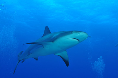 """© Joseph Dougherty. All rights reserved.   Carcharhinus perezii  (Poey, 1876) Caribbean Reef Shark  A heavy-bodied shark with a """"typical"""" streamlined shape, the Caribbean reef shark is difficult to distinguish from other large requiem shark species. It usually measures 2–2.5 m (6.5–8 ft) long; the maximum recorded length is 3 m (10 ft) and the maximum reported weight is 70 kg (154 lbs). The coloration is dark gray or gray-brown above and white or white-yellow below, with an inconspicuous white band on the flanks. The fins are not prominently marked, and the undersides of the paired fins, the anal fin, and the lower lobe of the caudal fin are dusky, as seen in the image above."""