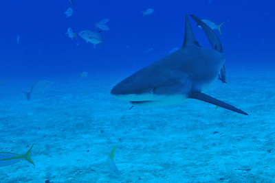 © Joseph Dougherty. All rights reserved.   Carcharhinus perezii  (Poey, 1876) Caribbean Reef Shark   If threatened, Caribbean reef sharks sometimes perform a threat display, in which they swim in a short, jerky fashion with frequent changes in direction and repeated, brief (1–1.2 second duration) drops of the pectoral fins. This display is less pronounced than the better-known display of the grey reef shark (C. amblyrhynchos).