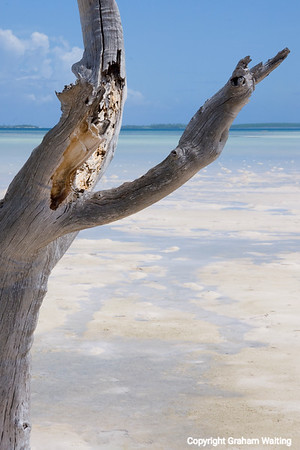 Vulgar dead tree on beach with ocean in background