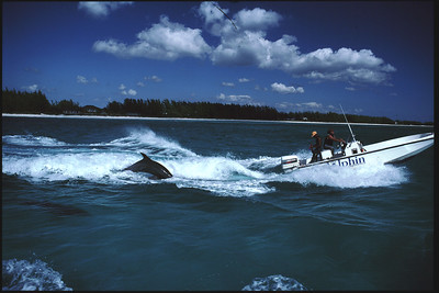 Dolphins in Grand Bahama