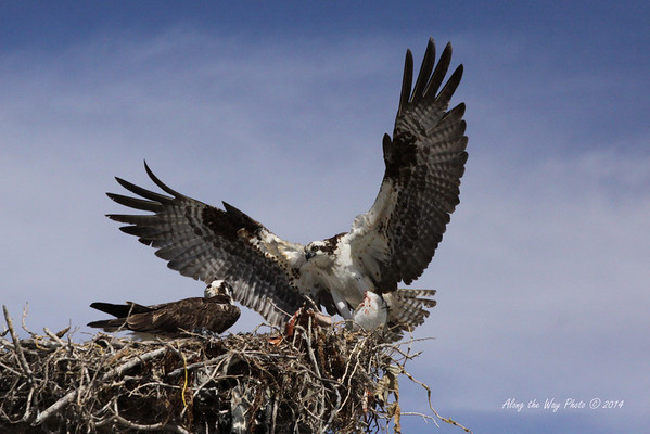 Osprey 5322<br /> Osprey in Guerrero Negro are non-migratory. Guerrero Negro is one of the most important breeding areas for the Osprey on the West coast of Mexico.