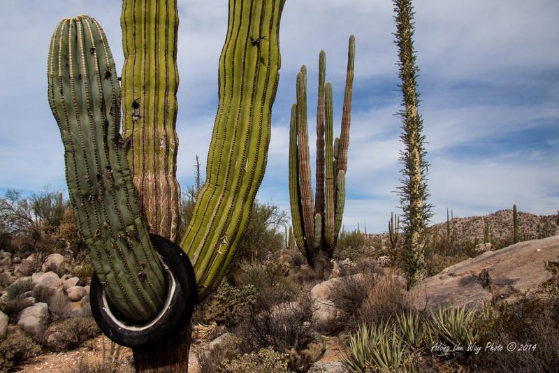 Catavina 4351<br /> <br /> Cardon Cactus in the Central Desert in Catavina in the Baja Peninsula.