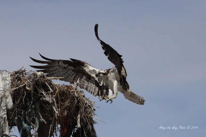 Osprey 5240<br /> Osprey in Guerrero Negro are non-migratory. Guerrero Negro is one of the most important breeding areas for the Osprey on the West coast of Mexico.