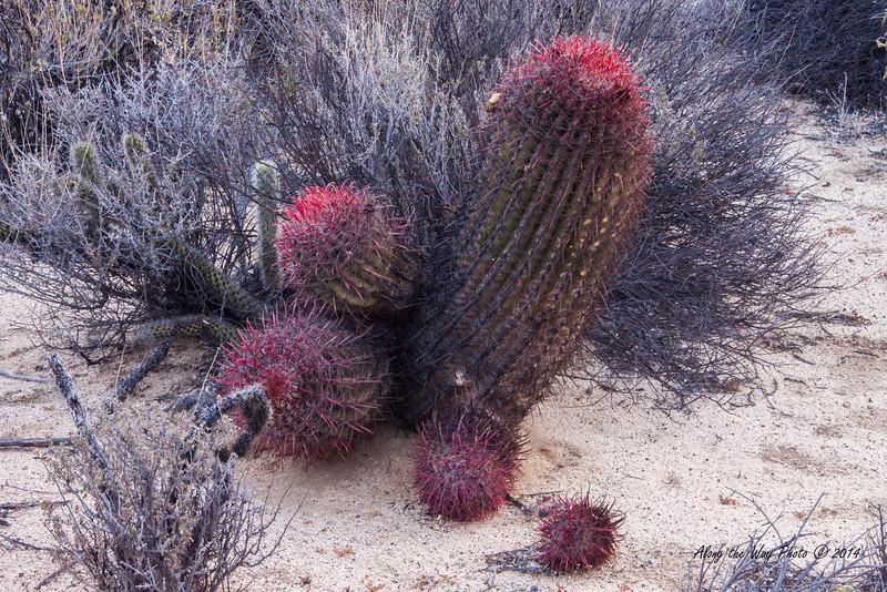 Catavina 4271<br /> Barrel Cactus in the Central Desert in the Baja Peninsula.