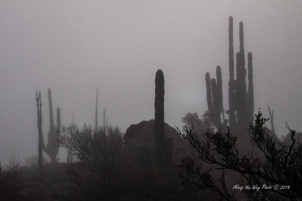Catavina 4294<br /> Cardon Cactus in the Central Desert with fog around them.