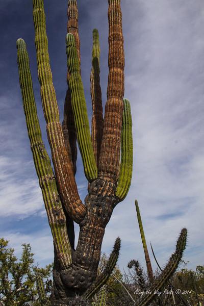 Catavina 4441<br /> Cardon Cactus in the Central Desert in the Baja Peninsula.