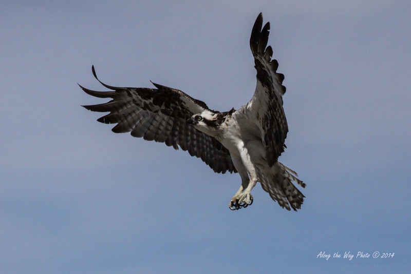 Osprey 5271<br /> Osprey in Guerrero Negro are non-migratory. Guerrero Negro is one of the most important breeding areas for the Osprey on the West coast of Mexico.