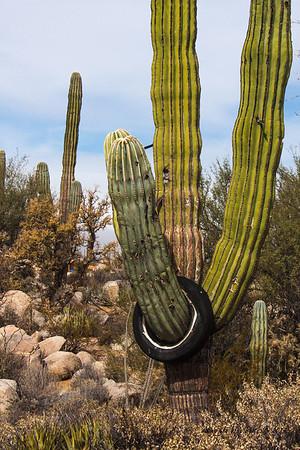Catavina 4348<br /> Cardon Cactus in the Central Desert in Catavina in the Baja Peninsula.