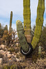 Catavina 4348<br /> Cardon Cactus in the Central Desert in Catavina in the Baja Peninsula.