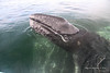 Gray Whales 4939<br /> Gray Whale calf partially laying on mom in Scammon's Lagoon in Guerrero Negro on the Baja Peninsula. The calves will weigh a ton at birth. The female Gray Whales will weigh 30 to 40 tons and will be up to 50 feet in length.